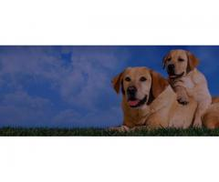 Dogs and Puppies for sale in Hyderabad| Dogs Kennel in Hyderabad|Dogsnpetskennel